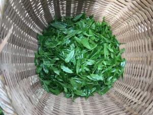 摘みたてのお茶の葉っぱ