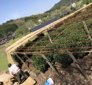 玉露栽培の様子1