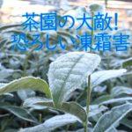 霜が降りた茶園